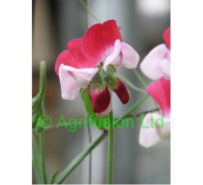 Sweet Pea Little Red Riding Hood