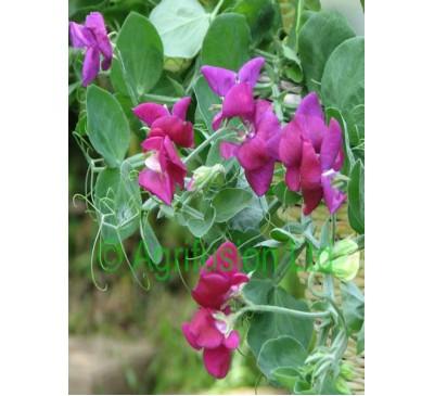 Sweet Pea Cupid Purple