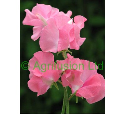 Sweet Pea Daily Mail