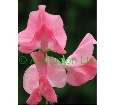Sweet pea Geranium Pink