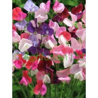 Highly Scented Mixes